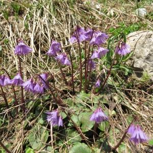 Blumen am Nebelhorn (6)