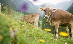 Rinder im Dietersbachtal