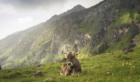 Kuh im Dietersbachtal