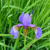 Iris am Moorbad