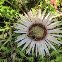 Silberdistel mit Biene