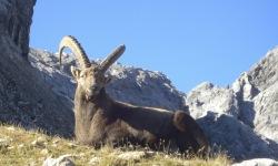 Steinbock in den Allgäuer Alpen