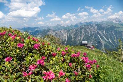 Blumenmeer aus Alpenrosen