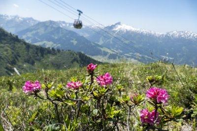 Erste Alpenrosen im Juni