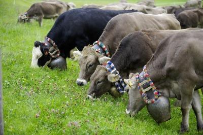 Allgäuer Braunvieh am Viehscheid