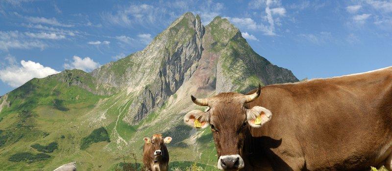Allgäuer Kuh - im Hintergrund die Höfats