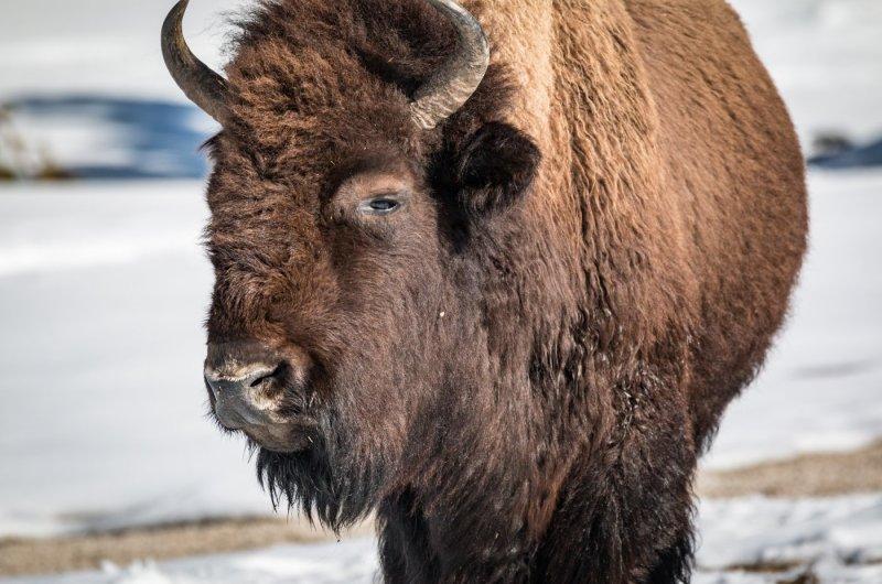 Jackson Hole - Büffel