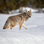 Jackson Hole - Wolf im Schnee