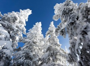 Tiefverschneite Bäume in Silver Star