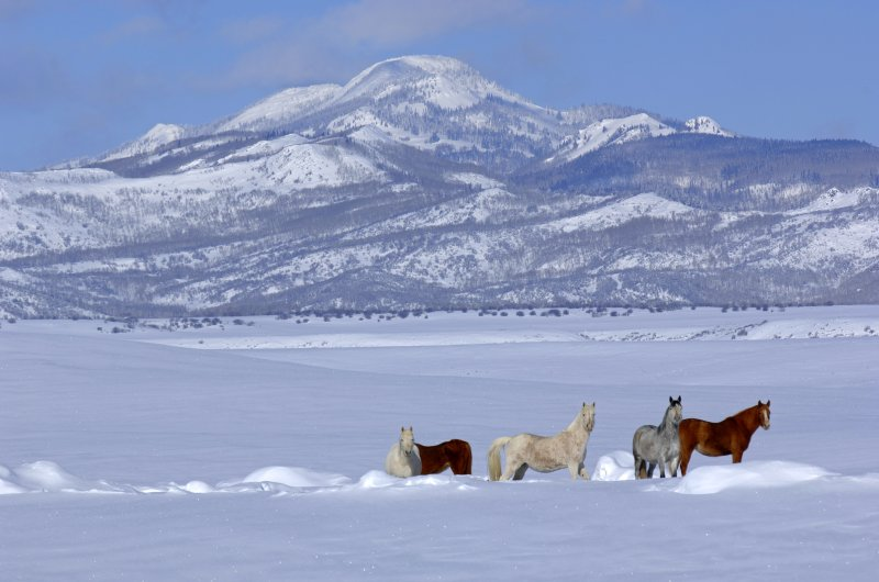 Western-Horses