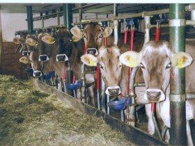 Vieh im warmen Stall