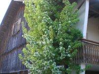 Blüte Birnenbaum