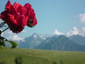 Blühende Rosen im Garten