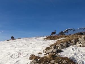 Gemse auf dem Nebelhorn