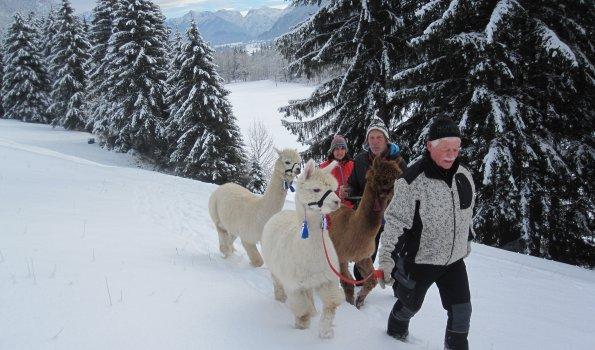 Alpaka Wanderung in Pfronten