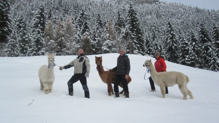 Wandern im Winter mit Alpakas