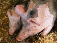 Pigs-4668060