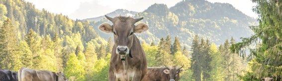 Wiesen und Kühe