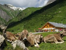 Kühe auf der Käseralpe