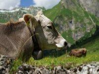 Kuh auf der Käseralpe