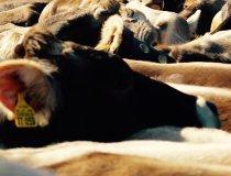 Kühe beim Viehscheid