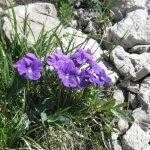 Bergblumen (5)