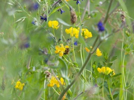 Blühwiese mit Wildbiene