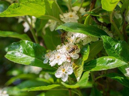 Wildbiene bestäubt Blüte