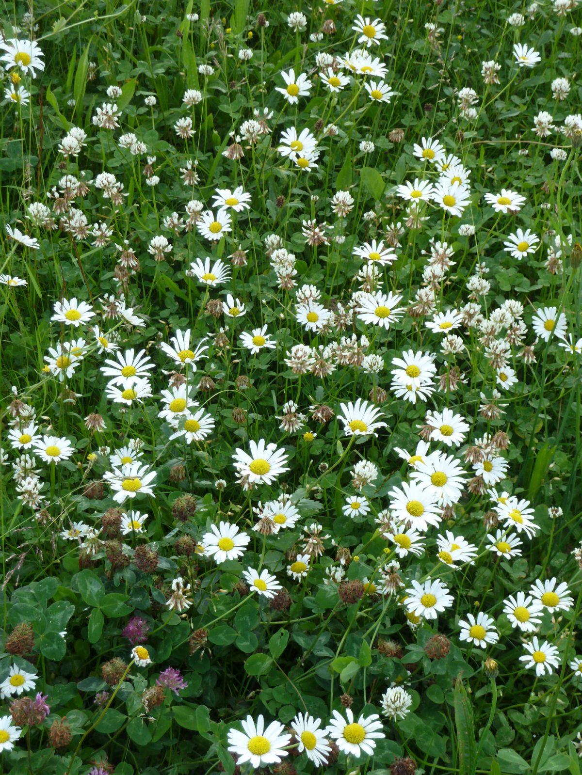 Blumenwiese am Sonnenhang