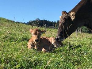 Kälbchen zum Streicheln im Wellnesshof Blenk - 5 Sterne Ferienwohnungen in Wertach im Allgäu