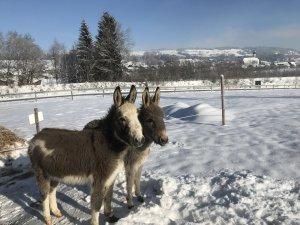 Süße Esel im Wellnesshof Blenk - 5 Sterne Ferienwohnungen in Wertach im Allgäu