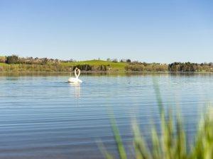 Schwäne auf dem See - Wellnesshof Blenk - 5 Sterne Ferienwohnungen in Wertach im Allgäu