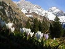 Krokusse mit Bergen im Hintergrund
