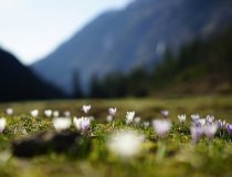 Krokusblüte im Tal