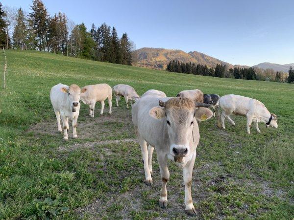 Jungvieh auf der Weide