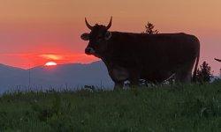 Kuh im Sonnenuntergang