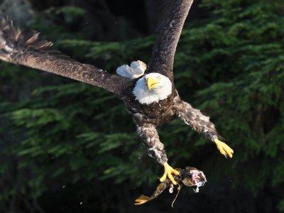 Weisskopf-Adler auf Beutezug