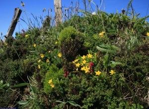 Blütenpracht im Kraterrand auf Faial