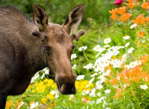 Flower Moose - Wayde Carroll