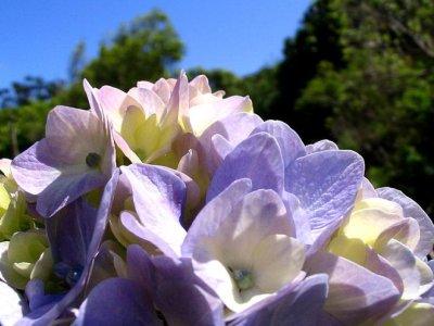 Blütezeit auf den Azoren