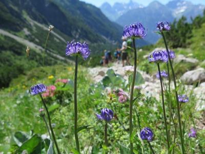 bunte Alpenblumen