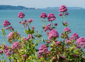 Blumenmeer an der Küste Irlands