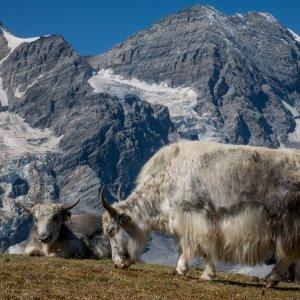 Weisse Yaks vor Monte Zebru