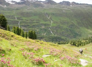 Alpenrosen im Ötztal