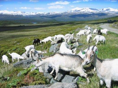 Ziegen in Norwegen