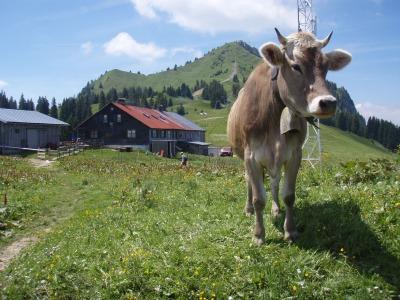 Kuh vor der Alpspitz in Nesselwang