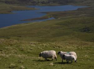 Schafe auf Skye