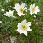 Alpenblumen Aostatal