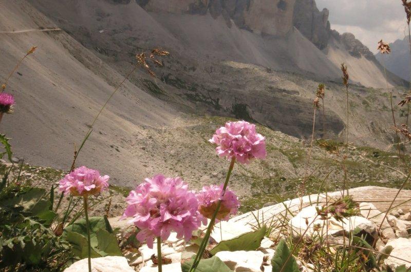 Alpenblumen vor den Drei Zinnen