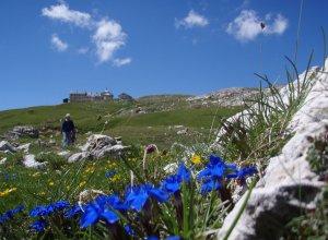Frühlings-Enzian oder Schusternagerl in den Dolomiten